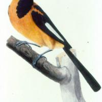 Ilustração da Expedição Philosophica pelas Capitanias do Pará, Rio Negro, Mato Grosso e Cuyabá de Alexandre Rodrigues Ferreira, com a legenda: Turpial.