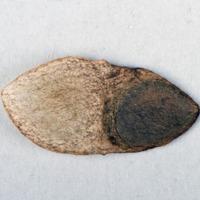 Sementes da espécie Doryanthes palmeri.
