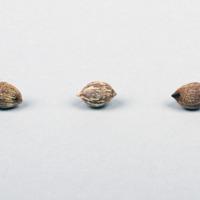 Sementes da espécie Syagrus romanzoffiana.