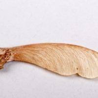 Frutos da espécie Acer pseudoplatanus.