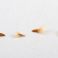 Sementes da espécie Nerium oleander.