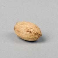 Sementes da espécie Corynocarpus laevigata.