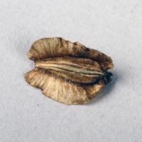 Sementes da espécie Thapsia villosa.
