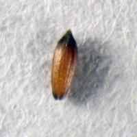 Sementes da espécie Armeria rouyana.