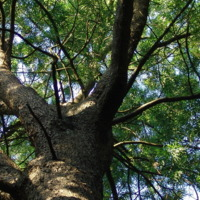 Detalhe da copa de um pinheiro de S. Tomé (Afrocarpus mannii  (Hook. f.) C. N. Page) do Jardim Botânico do Museu Nacional de História Natural, Lisboa - Portugal.