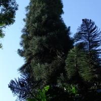 Detalhe da copa de  Marywildea bidwillii  (Hook.) A.V.Bobrov &amp