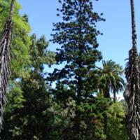 Detalhe da copa de  (Araucaria heterophylla   (Salisb.) Franco) do Jardim Botânico do Museu Nacional de História, Lisboa - Portugal .