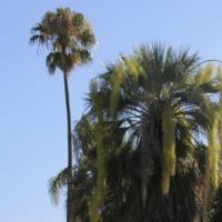 """Detalhe da folha de palmeira-azul, """"palma-blanca"""" (Butia eriospatha  (Drude) Besc.) do Jardim Botânico do Museu Nacional de História, Lisboa - Portugal ."""