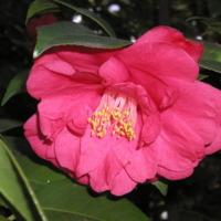 Detalhe  da planta do chá  (Camellia sinensis L.) do Jardim Botânico do Museu Nacional de História, Lisboa - Portugal .