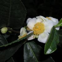 Detalhe da flor da planta do chá (Capparis spinosa L.) do Jardim Botânico do Museu Nacional de História, Lisboa - Portugal .