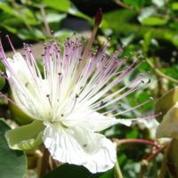 Detalhe da flor da Alcaparra (Capparis spinosa L.) do Jardim Botânico do Museu Nacional de História, Lisboa - Portugal .