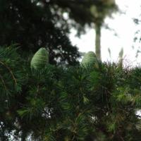 Detalhe da pinha da Cedro-do-Himalaia  (Cedrus deodara   (Roxb. ex D. Don) G. Don) do Jardim Botânico do Museu Nacional de História, Lisboa - Portugal .