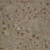 Detalhe dos acúleos da Paineira-barriguda  (Ceiba crispiflora   H.B.K.) do Jardim Botânico do Museu Nacional de História, Lisboa - Portugal .