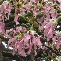 Detalhe das flores e frutos da Paineira-barriguda  (Ceiba crispiflora   H.B.K.) do Jardim Botânico do Museu Nacional de História, Lisboa - Portugal .