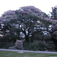 Detalhe das copas da Paineira-barriguda  (Ceiba crispiflora   H.B.K.) do Jardim Botânico do Museu Nacional de História, Lisboa - Portugal .