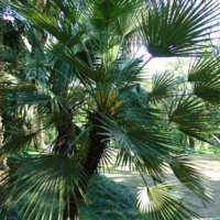Detalhe da copa do Palmito, palmeira-anã, palmeira-das-vassouras  (Chamaerops humilis  L.) do Jardim Botânico do Museu Nacional de História, Lisboa - Portugal .
