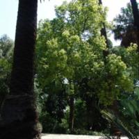 Detalhe da copa do Canforeira (Cinnamomum camphora  (L.) Siebold ) do Jardim Botânico do Museu Nacional de História, Lisboa - Portugal .