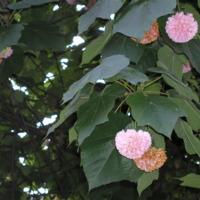 Detalhe da flor do Dombeia, bola-rosa  (Dombeya × cayeuxii  André  [D. Mastersii Hook. F. X D. Wallichii (Lindl.) Benth.]) do Jardim Botânico do Museu Nacional de História, Lisboa - Portugal .