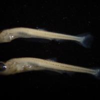 Exemplar de larva de Pseudochondrostoma willkommii(Steindachner, 1866) (Actinopterygii, Cyprinidae), Escalo.  Colecção de Peixes do Museu Nacional de História Natural e da Ciência, Lisboa, Portugal (MB55-0022).