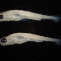 Exemplar de larva de Cyprinus carpio (Linnaeus, 1758) (Actinopterygii, Cyprinidae), Boga-do-Guadiana.  Colecção de Peixes do Museu Nacional de História Natural e da Ciência, Lisboa, Portugal (MB55-0029).
