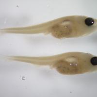 Exemplar de larva de Micropterus salmoides (Lacepède, 1802) (Actinopterygii, Centrarchidae), Perca-sol.  Colecção de Peixes do Museu Nacional de História Natural e da Ciência, Lisboa, Portugal (MB55-0011).