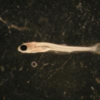 Exemplar de larva de Squalius pyrenaicus (Günther, 1868) (Actinopterygii, Cyprinidae), Achegã.  Colecção de Peixes do Museu Nacional de História Natural e da Ciência, Lisboa, Portugal (MB55-0020).