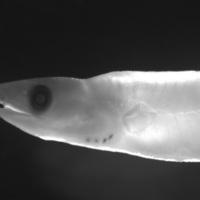 Larva de peixe da espécie de Conger oceanicus.