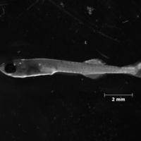 Larva de peixe da espécie de Atherina boyeri.
