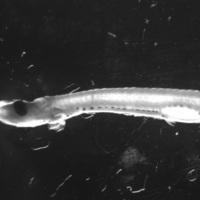 Larva de peixe da espécie de Sardina pilchardus.