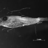 Larva de peixe da espécie de Callionymus lyra.