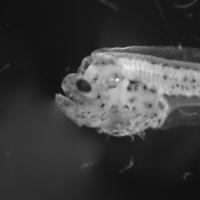 Larva de peixe do género de Solea.