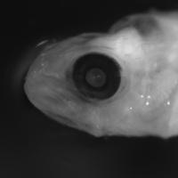 Larva de peixe da espécie de Diplodus sargus.