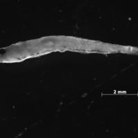 Larva de peixe do género de Pomatoschistus.