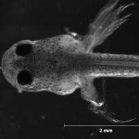 Larva de peixe do género de Cobitis.