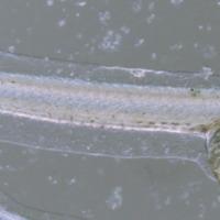 http://www.arca.museus.ul.pt/ArcaSite/obj/peixes2/MUHNAC-0001868-MB-IMG-web.JPG