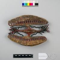 Modelo anatómico do coração do Mexilhão-de-rio-comum (Unio pictorum) - vista superior.
