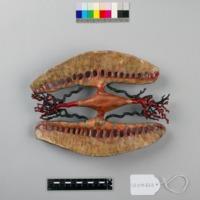 Modelo anatómico do coração do Mexilhão-de-rio-comum (Unio pictorum) - vista inferior.