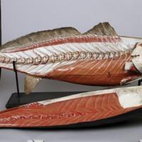 Modelo anatómico articulado de uma Corvina (Argyrosomus regius) - lado direito com a pele destacada.