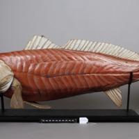 Modelo anatómico articulado de uma Corvina (Argyrosomus regius) - lado esquerdo.