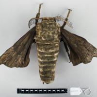 Modelo anatómico articulado do macho do Bicho da seda (Bombyx mori) - vista superior.