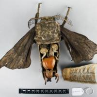 Modelo anatómico articulado do macho do Bicho da seda (Bombyx mori) - interior.