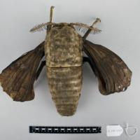 Modelo anatómico articulado da fêmea do Bicho da seda (Bombyx mori) - vista superior.