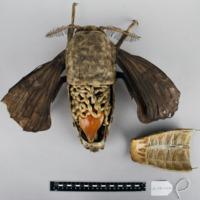 Modelo anatómico articulado da fêmea do Bicho da seda (Bombyx mori) - interior.