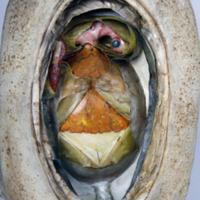 Modelo anatómico articulado com 4 fases do desenvolvimento embrionário de uma ave - segunda fase.