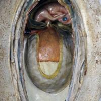 Modelo anatómico articulado com 4 fases do desenvolvimento embrionário de uma ave - terceira fase.