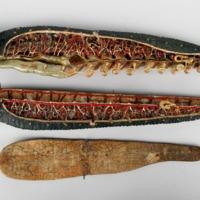 Modelo anatómico articulado de Sanguesuga (Hirudo medicinalis) - desmontado.