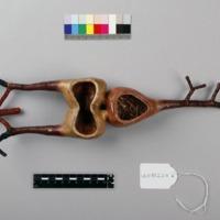 Modelo anatómico do coração e vasos sanguíneos das ostras - vista superior.