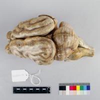 http://www.arca.museus.ul.pt/ArcaSite/obj/auzoux/MUHNAC-0002007-MB-IMG-web.JPG