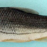 http://www.arca.museus.ul.pt/ArcaSite/obj/peixes/MUHNAC-0001759-MB-IMG-web.JPG