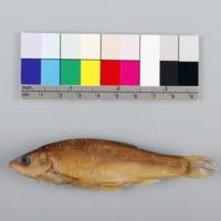 http://www.arca.museus.ul.pt/ArcaSite/obj/peixes/MUHNAC-0001762-MB-IMG-web.JPG